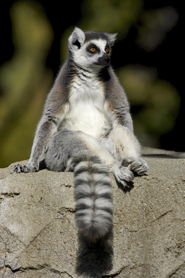 mystic-revelations:  Lounging lemur By Official San Diego Zoo