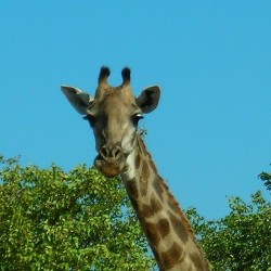 "Giraffe eating some leaves & shit & looking at us like ""wtf u looking at, son?!?"" #tbt #nofilter Kruger national park, South Africa. August 2006"