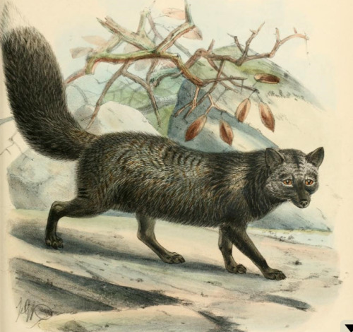 heaveninawildflower:  Engraving of a Silver Fox ( 1890) by J. G. Keulemans taken from 'Dogs, jackals, wolves, and foxes: a monograph of the Canidae', author  St. George Jackson Mivart. Wikimedia.