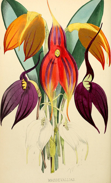 "Masdevallias by BioDivLibrary on Flickr. The florist and pomologist..London :""Journal of Horticulture"" Office,1863-1879..biodiversitylibrary.org/page/6059435"
