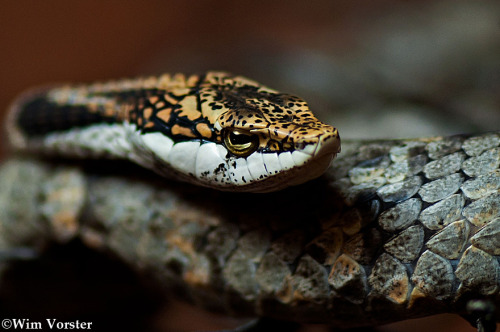 animals-animals-animals:  Twig Snake (by Wim Vorster Photography)