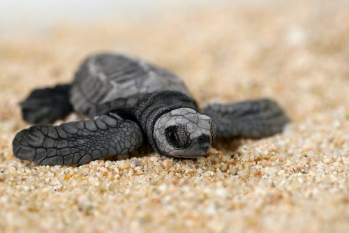 theoceaniswonderful:  Baby Sea Turtle Macro by T. Aberle