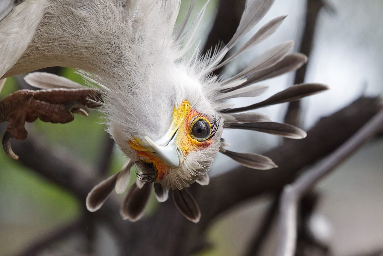 sdzoo:  Secretary Bird by Brian Connolly