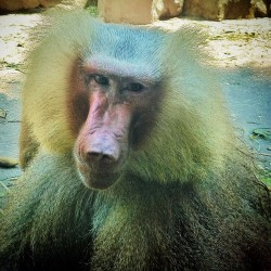 So, what shampoo do you use? #pimpin #hairybaboon #singaporezoo #singapore