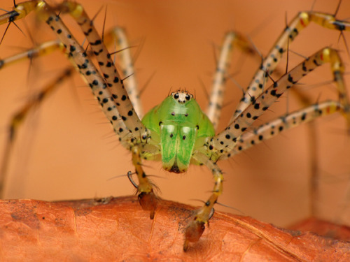 Green Lynx Spider, Peucetia viridans [Explored] on Flickr.