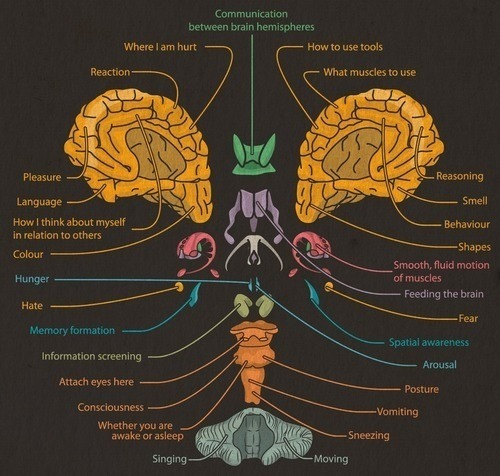 sarahx91s:  ellendgenerous:  Parts of the Brain and its Function  I love this!