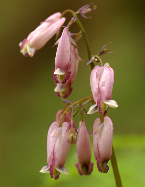 Dicentra formosa - Pacific Bleeding Heart