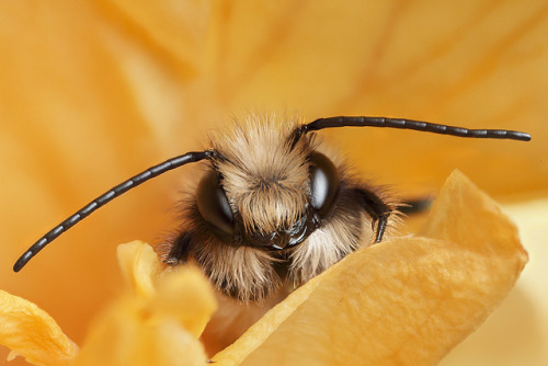 djabal:  Mason bee Osmia rufa #3 by Lord V on Flickr.