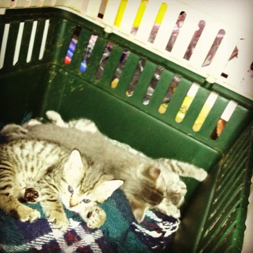 The Three Little Kittens ~ (front to back) (Dana) Scully, her brother - Billy Joel, and on his back, jumpin' Jack Kerouac! Scully & Billy Joel have special bond. She is only one that calms his cries when he's scared. (at my redneck trailer court home)