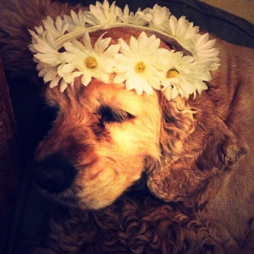 Coco wants to go to EDC 🌼🐶🌼 #edc #daisies #hippie #cockerspaniel