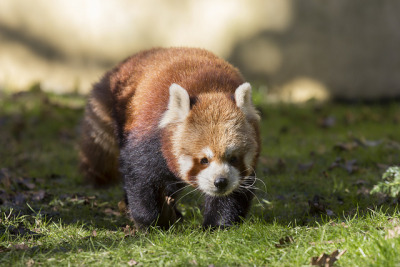 sondaica:  Red Panda by Aaran_B on Flickr.