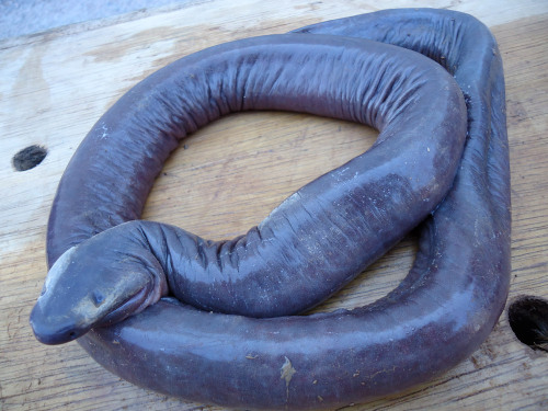 It's a Worm! It's a Snake! No, it's a Caecilian! Do you know there are actually three groups of amphibian? Frogs/toads, newts/salamanders, and … Caecilians! Not many people have heard of them. Check out these cool little worm-like critters! Read the Rest of This Post You can always like my blog's Facebook Page … :)