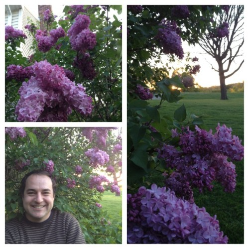 The Lilacs have bloomed at the Hogarths!!! #picstitch