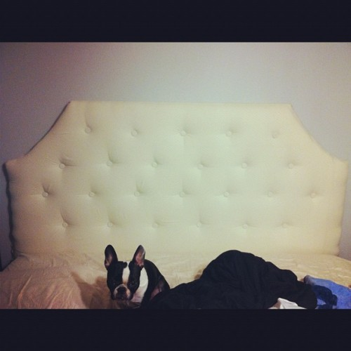 Our fancy new headboard with our fancy puppy #davebehoriginal #diytufftedheadboard #frenchton @davebeh