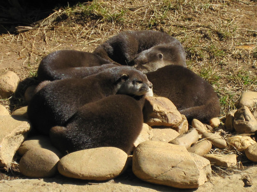 schalahasfun:  The otters decided to have a group cuddle nap.