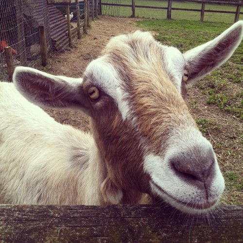 Hi there! #goat #farm #lol #cute