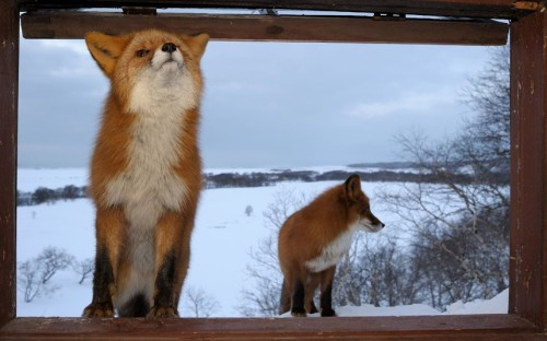 These two wild foxes were lured to the window of Igor Shpilenok's remote log cabin by the smell of his cooking. Picture: Igor Shpilenok / Barcroft Media   Lucho…. salgamos a jugar, jajajaj