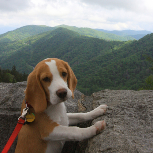 "Puppy Lays Claim to Vast American Wilderness When a beagle named Copper set out on a mapping expedition last fall, he never dreamed he'd find such pristine, untapped wilds. The puppy has sent reports back to base camp with tales of vast, uninhabited forests in the Great Smoky Mountains of the Southeastern U.S. According to his bank rollers, Copper has claimed the land for himself, and set up a make-shift municipality called Copperton. Early reports indicate that he has begun settling the wilds. ""It's hard to mark 187,000 acres of Appalachia with your pee, but Copper's working on it,"" says park ranger Dan Fillion, who is keeping tabs on the puppy from a distance. ""He can make claims all he wants. This place has been federal parkland since 1934."" It's likely Copper is unaware of the legal challenges to his claim, but friends of the beagle expect him to fight for it in court when the issue arises. Via Kelly Bolinger. Originally published on HelloGiggles."