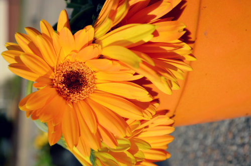 Beautifully bright gerber daisies.
