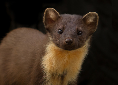 theanimalblog:  Pine Marten. Photo by Gary Faulkner