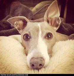 The most adorable face of Italian Greyhound Gris from Yokohama, Japan Via @jun_gri For more cute dogs and photos