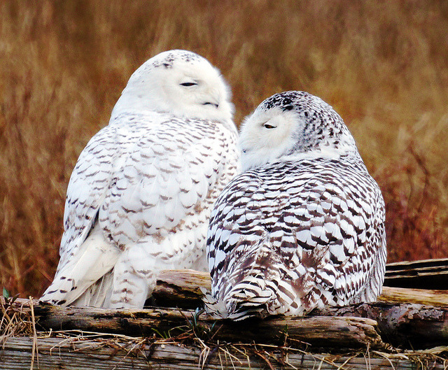 Snowy Owl Winter Love Story by TOTORORO.RORO on Flickr.