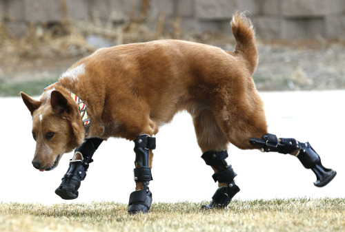 reuters:  Meet Naki'o. Naki'o is a mixed-breed dog with four prosthetic leg devices. Naki'o lost all four feet to frostbite when he was abandoned as a puppy in a foreclosed home.  He now lives in Colorado Springs, happily.  Photos: REUTERS/Rick Wilking