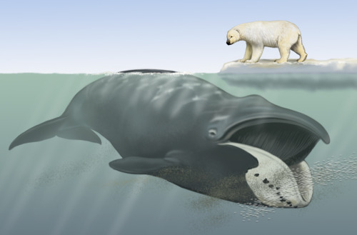 griseus:  Bowhead whale (Balaena mysticetus) with polar bear (Ursus maritimus) for scale by Carl Buell