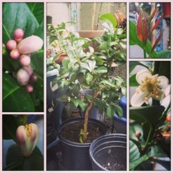 #lemon #tree #flowering #flowers #containerGardening #BalconyGarden #UrbanGarden #growyourownfood #organic #mmm