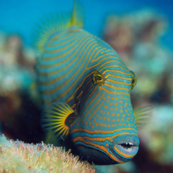 theoceaniswonderful:  Triggerfish#1 by Fish.Eye