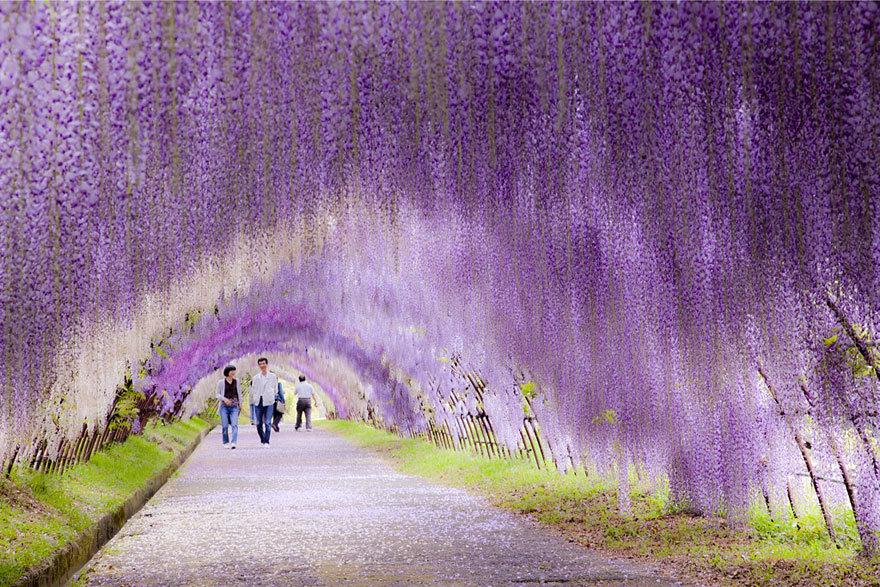 fer1972:  Surreal Wisteria Flower Tunnel in Japan
