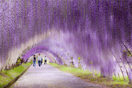 pearlsonaplate:  vejaskrejejs:  Surreal Wisteria Flower Tunnel in Japan