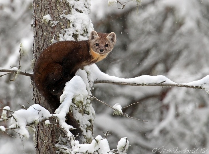 animals-animals-animals:  Pine Marten (by Nick Saunders)