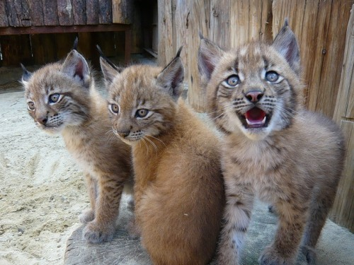 "magicalnaturetour:  svkorban ~ ""Lynx children"""