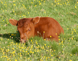 flowers grass cow