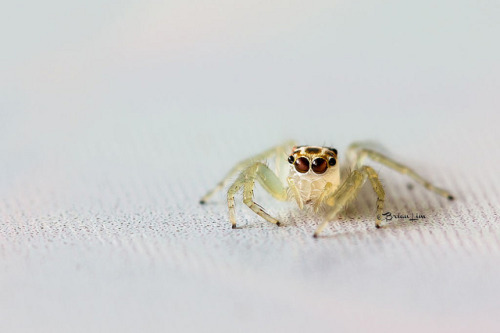 Jumping Spider by brianfc on Flickr. Cute little jumper