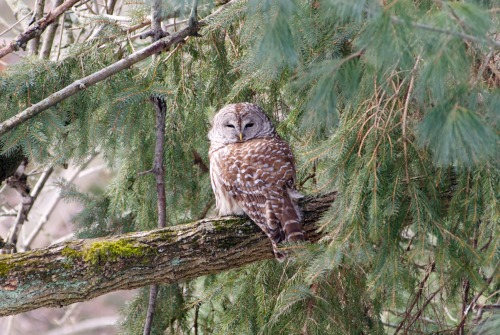 "NEWS 8 Report It Photo of the Day: This owl was spotted by Ed, who said it ""sat in a tree in my backyard for a couple of hours,"" in Fairfield.  Photo sent in via Report It by Edward Kuryluk."