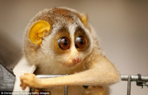 Why have you woken me up? Baby loris gets his first checkup, but finds it hard to stay awake.  Photos by Christopher Furlong/Getty Images