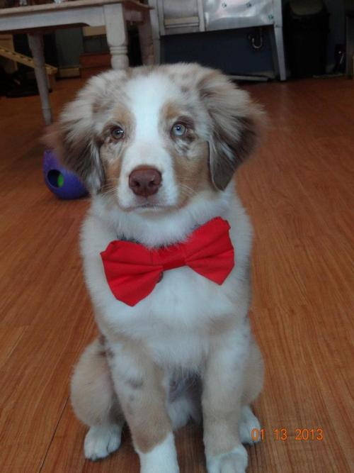 handsomedogs:  Merlin looking dapper! (and a bit embarrassed)    Dogtor Who?