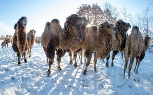 theanimalblog:  Camels are seen on a snow-covered pasture in Berkenthin, northern Germany. The owner trains the animals for film productions.  Picture: MARKUS SCHOLZ/AFP/Getty Images