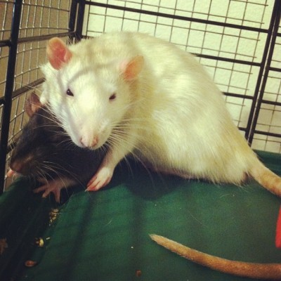 Big brother Paneer keeping baby Tikka warm. #rats #animals #cute #pets #rodents #love