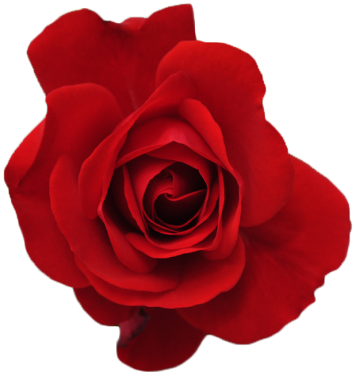 transparent-flowers:  Red rose from the Rosa genus. (©).
