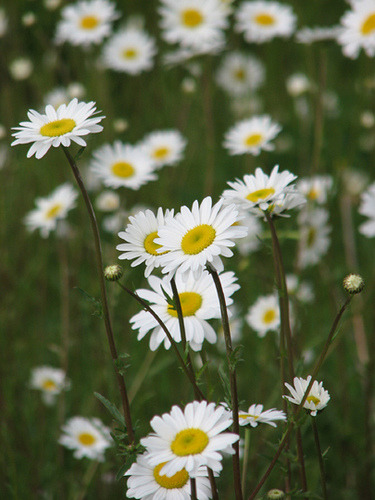 redwingjohnny:  Field of Daisies by Ford Center of the UP on Flickr.