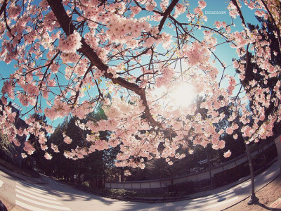 { CHERRY BLOSSOM SERIES } * on Flickr.