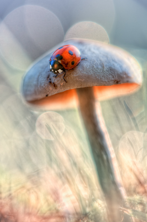"dontcallmebetty:  (via 500px / Photo ""A ladybug in the smurfs country *"" by BLOAS Meven)"