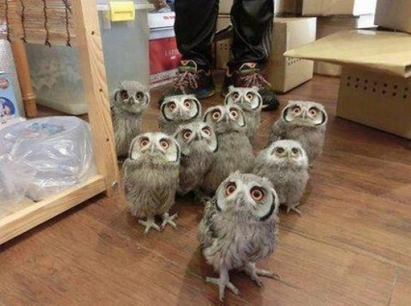 cute-overload:  Look it is a tiny herd of owlhttp://cute-overload.tumblr.com