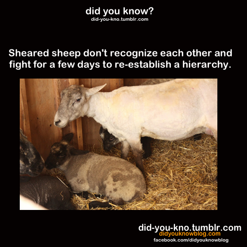 did-you-kno:  Source  Stoopid Sheeps