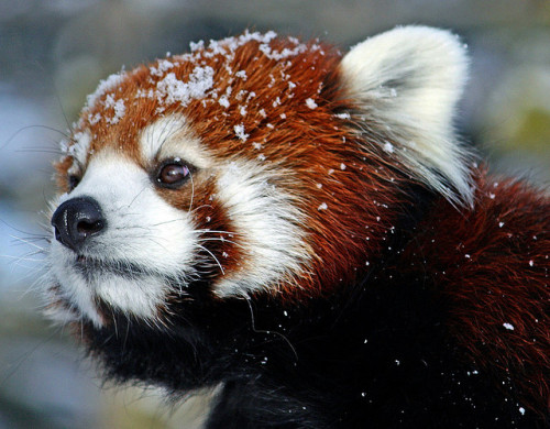 magicalnaturetour:  Red panda by cmifbpics on Flickr.