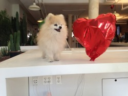 tommypom:   I found this heart shaped balloon in the office! Who would abandon something amazing like this?