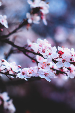 godsconnect:  The season of cherry blossoms.